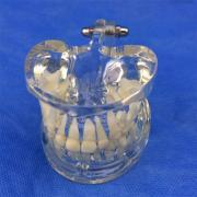 歯列模型 子供 透明乳歯模型 口腔病歯科模型SYM-20